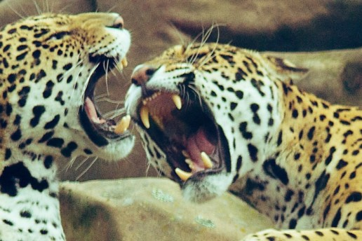 Leopards Fighting